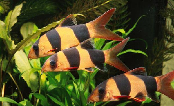 Фото Боция - рыбка с уникальным окрасом