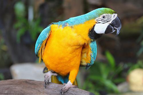 Фото Попугаий сине-жёлтый ара